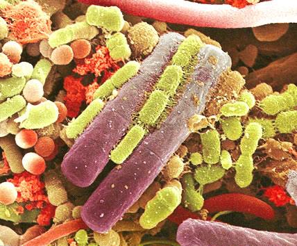 gutmicrobess342