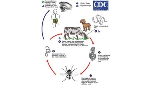 THELAZIA eye worm life cycle